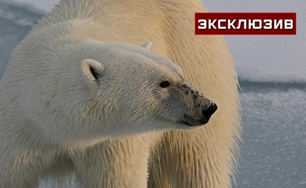 «Слышу звук— иснег весь вкрови»: оленевод рассказал обударах напавшей нанего медведицы