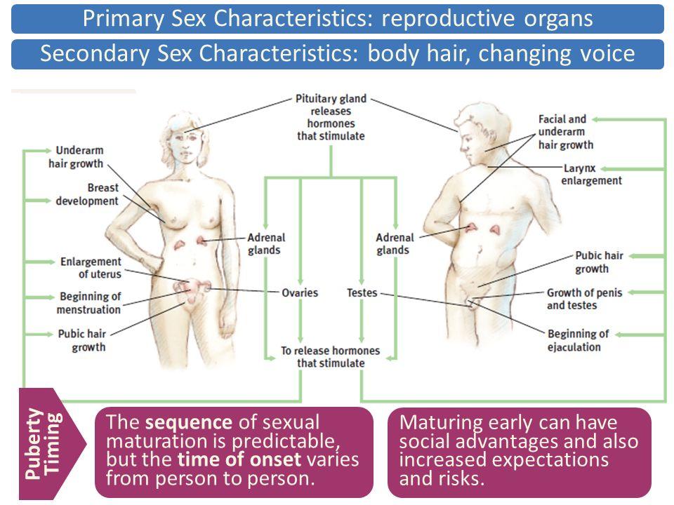 Secondary sexual characteristics bbc bitesize