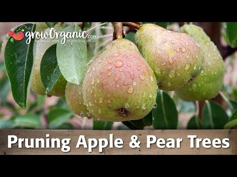 Trees pear 5440 asian pruning