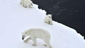 Десятки белых медведей вышли кпоселку вРоссии