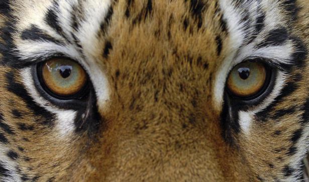 Автомобиль насмерть сбил взрослого тигра вХабаровске