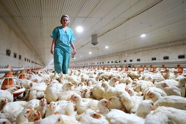 ВЕвропе начали массово уничтожать куриз-завспышки птичьего гриппа