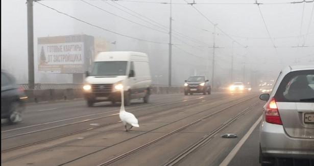 «Нелётная погода». ВКалининграде наэстакадный мост приземлился лебедь