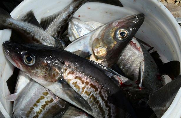 Обвал оптовых ценнаминтай вызвал остановку поставок рыбы нароссийском рынке