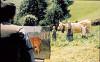 Коровы (Vacas)