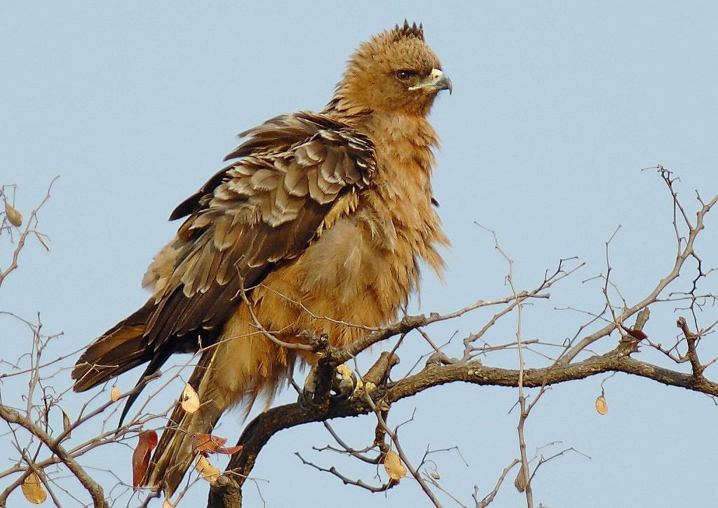 Серебристый орел вНациональном парке Крюгера.