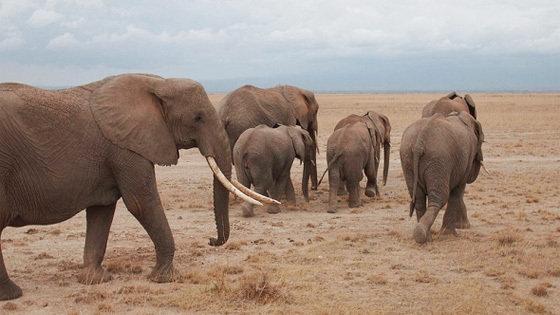 Слоны-пигмеи острова Борнео (Borneo's Pygmy Elephants)