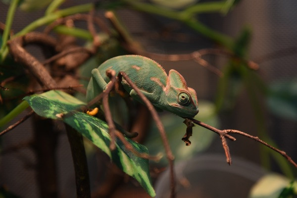 НаМадагаскаре нашли хамелеона, который считался вымершим больше века