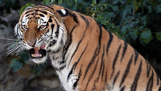 Тигр растерзал посетителя в китайском зоопарке