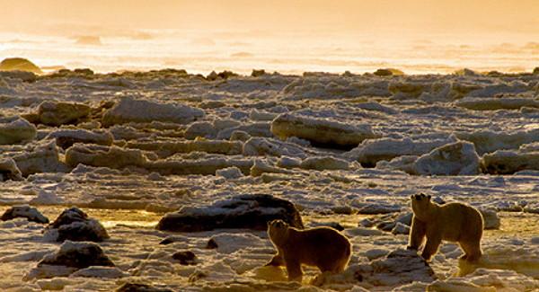 Белых медведей вАрктике пересчитают своздуха