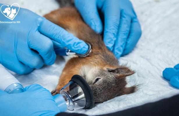Ветеринары «Зоозащиты-НН» спасли больного бельчонка
