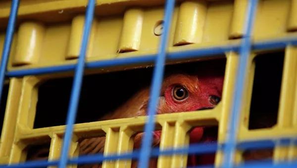 ВНидерландах зафиксировали вспышку птичьего гриппа